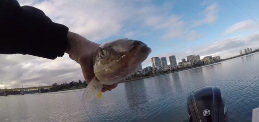 Winter-Fishing-Sydney-Target-Species-Trevally
