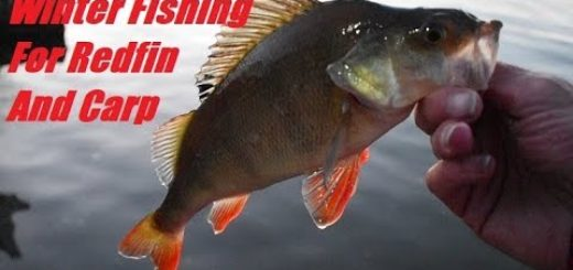 A-Fat-Carp-and-a-Couple-of-Redfin-Perch-Mid-Winter-fishing