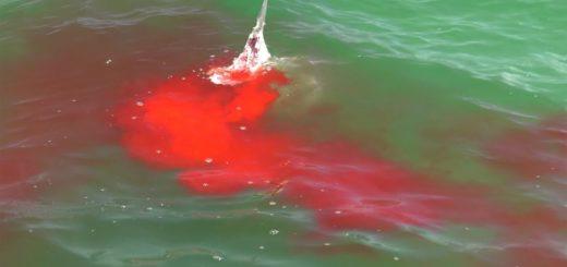 Bloody-Hammerhead-Shark-Attack-during-Shark-Week-2019