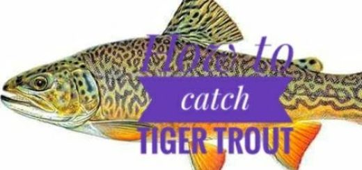 How-to-carch-tiger-trout-using-spoon-tiger-trout-fishing-techniques